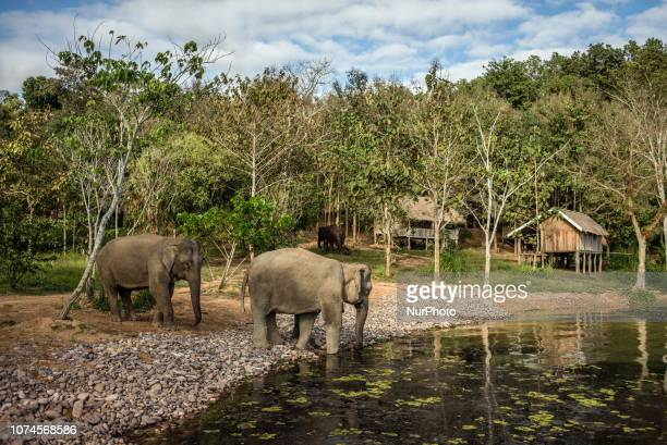 Elephants at the water hole in the Elephant Conservation Center Sayaboury Laos in December 2018 Laos was known as The land of a million elephants in...