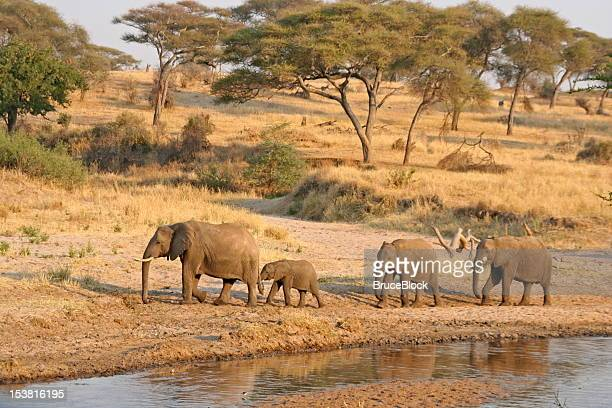 elephants at the watering hole - tarangire national park stock pictures, royalty-free photos & images
