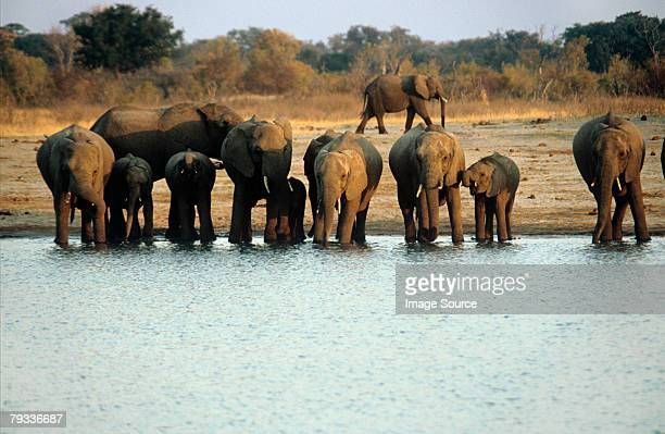 elephants at water hole - zimbabwe stock pictures, royalty-free photos & images
