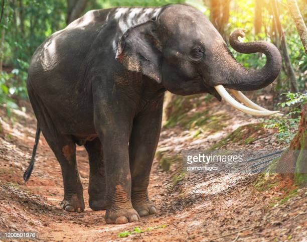 elephants bathing and walking in the tropical rainforest river at chiang mai thailand - asian elephant stock pictures, royalty-free photos & images