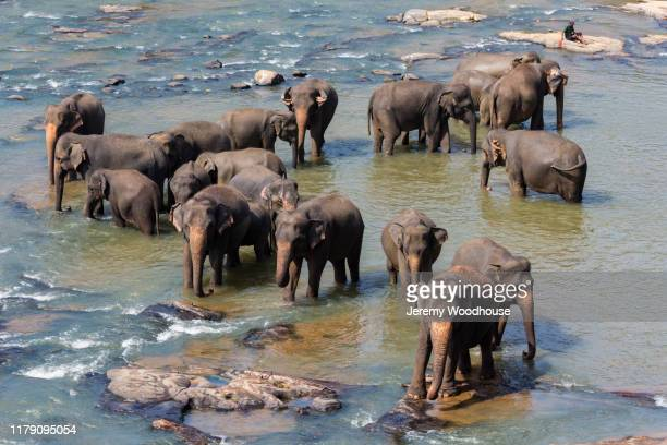 elephants bathing in the maha oya river - elephant handler stock pictures, royalty-free photos & images