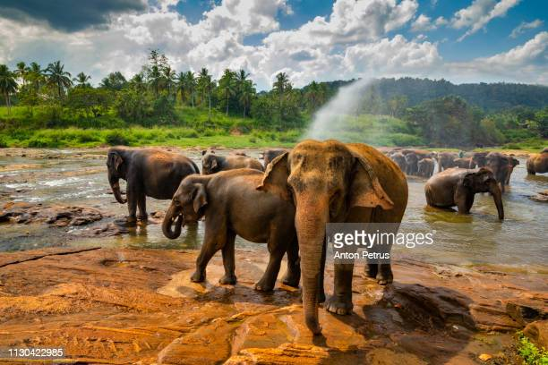 Elephants bathing in the river. Pinnawala Elephant Orphanage. Sri Lanka.