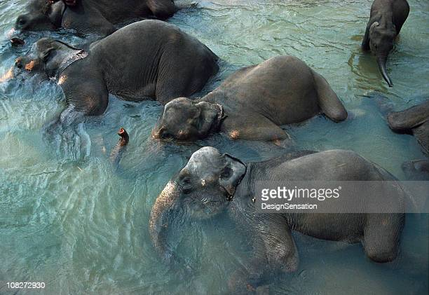 Elephants Bathing, Pinnawela, Sri Lanka