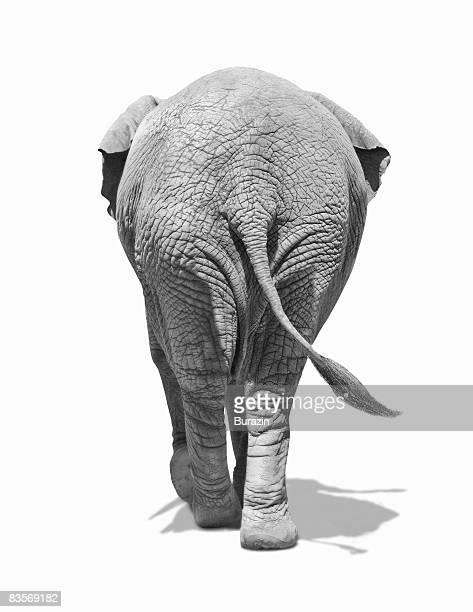 Elephants behind