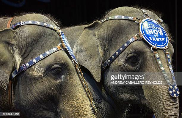 Elephants Bonnie and Kelly Ann stand next to each other before a Ringling Bros and Barnum Bailey Circus performance in Washington DC on March 19 2015...