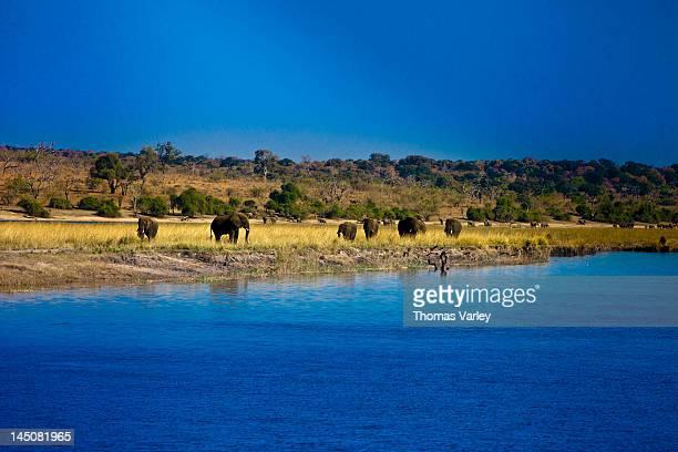 Elephants by Chobe river, Chobe National Park, Botswana