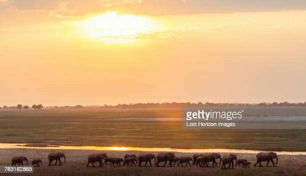 elephants by river, chobe national park, zambia, africa - endopack stock pictures, royalty-free photos & images