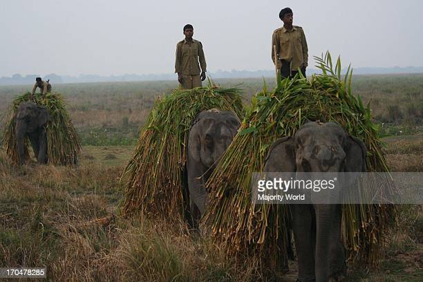 Elephants carry their food, in the Kaziranga National Park, in Assam, India. An adult Asian elephant consumes a daily diet of 100 to 200 kilograms,...
