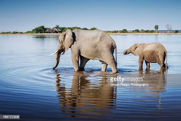 elephants, chobe national park, botswana - botswana stock pictures, royalty-free photos & images