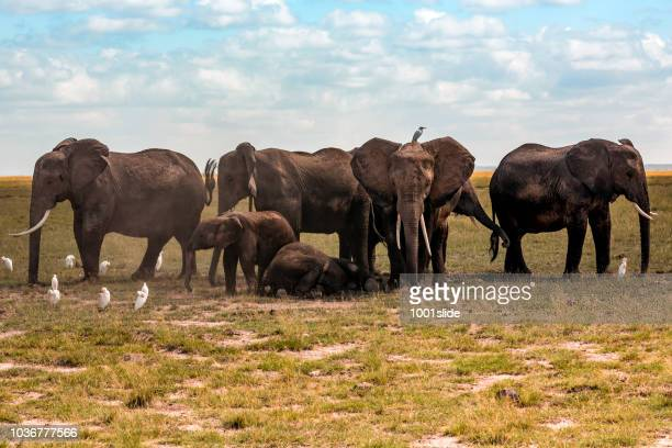 elephants covering resting calf - watching for them - safari animals stock pictures, royalty-free photos & images