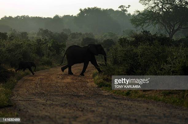 Elephants cross a road in the Tsavo-east National park on March 20, 2012 during the second phase of a collaring excercise funded by International...