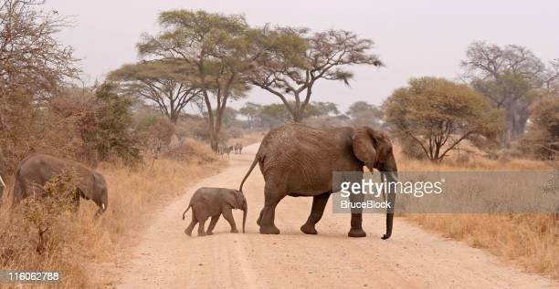 elephants crossing the road - tarangire national park stock pictures, royalty-free photos & images