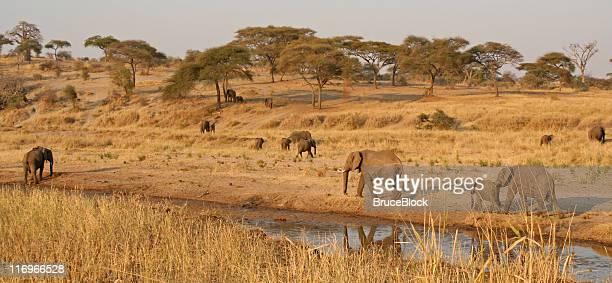 elephants dotting the landscape - tarangire national park stock pictures, royalty-free photos & images