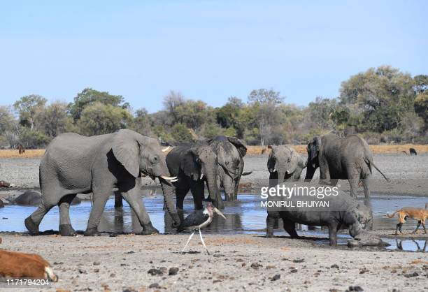 Elephants drink water in one of the dry channel of the wildlife reach Okavango Delta near the Nxaraga village in the outskirt of Maun on 28 September...