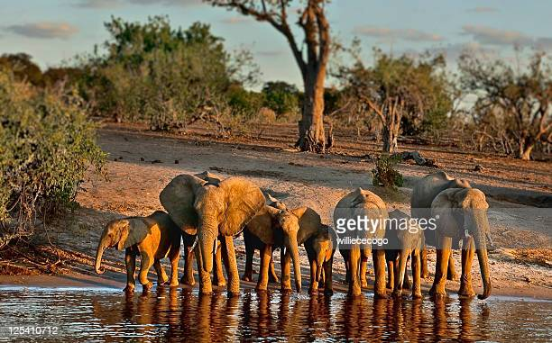 Elephants drinkg on Chobe River, late afternoon