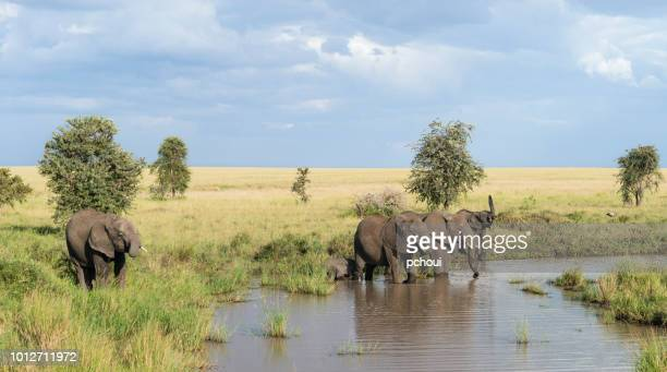 elephants drinking at river, africa - safari animals stock pictures, royalty-free photos & images