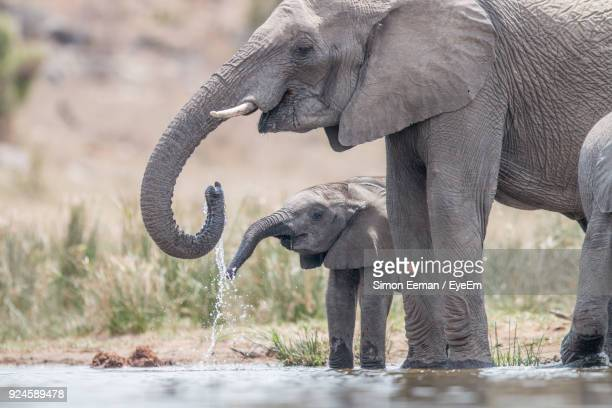 elephants drinking water from lake - baby elephant stock photos and pictures