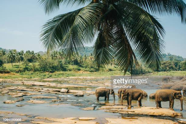 elephants drinking water from river,sri lanka - safari animals stock pictures, royalty-free photos & images