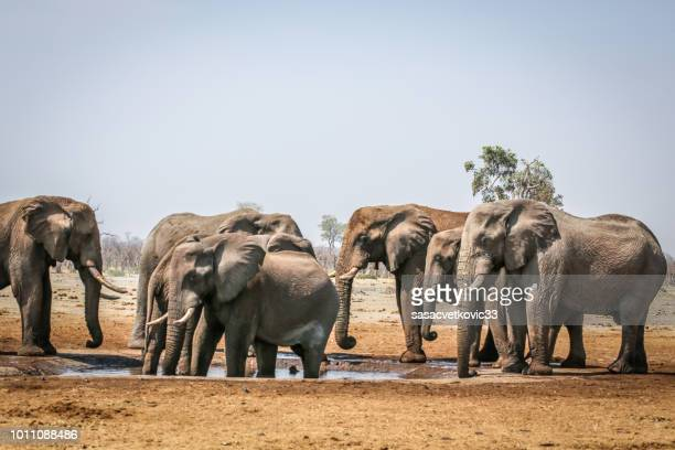 elephants drinking water from the pond - ngorongoro conservation area stock pictures, royalty-free photos & images