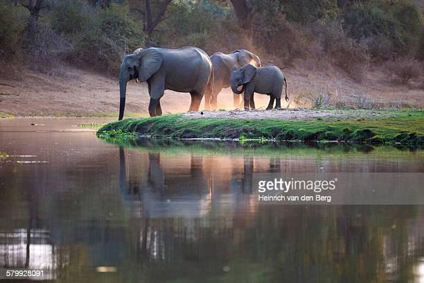 Elephants dust-bathing