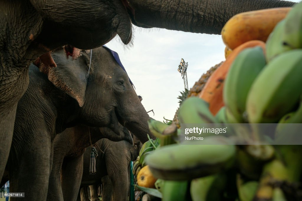 Elephants enjoy their buffet before starting the polo match during the the 2017 King's Cup Elephant Polo tournament at Anantara Chaopraya Resort in Bangkok, Thailand on March 12, 2017. The King's Cup Elephant Polo is one of the biggest annual charity events in Thailand. Since the first tournament, originally held in the seaside town of Hua Hin, 50 street elephants have been rescued. The annual event allows for a further 20 young elephants to be taken off the streets for the duration of the tournament, providing them with the best food possible, as well as the only proper veterinary check they receive all year.Elephants are a proud cultural symbol of Thailand's history.