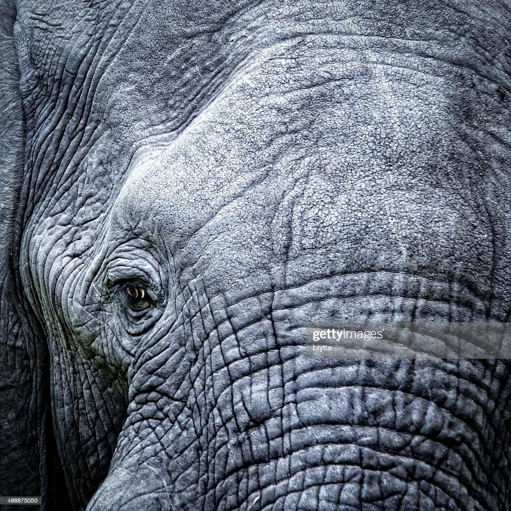 Elephant's eye close-up : Stock Photo