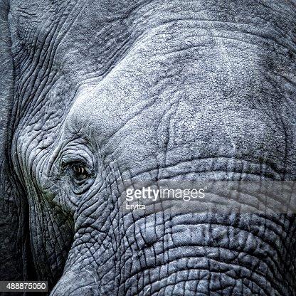 Elephant's eye close-up