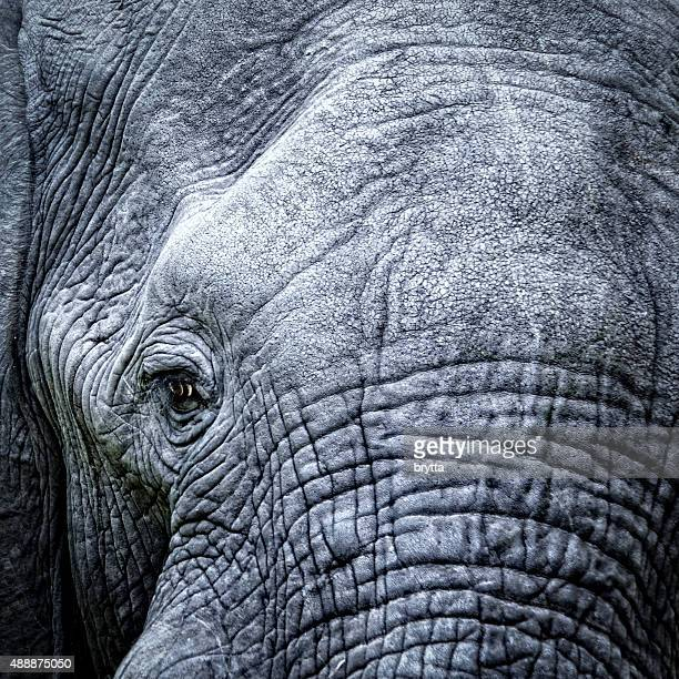 Elefante close-up do olho