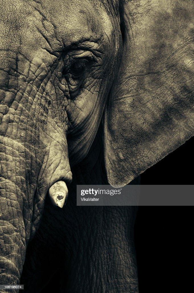 elephant's face : Stock Photo