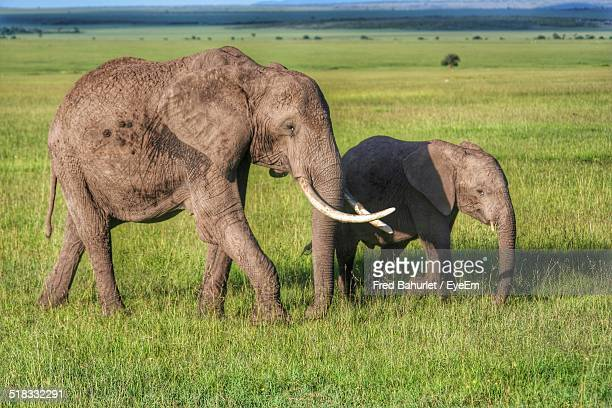 Elephants Family In A Forest