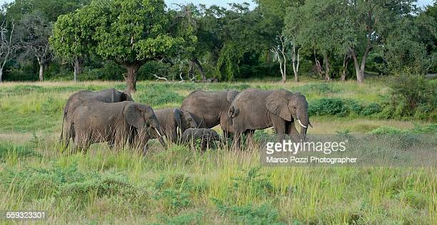 elephants family - desert elephant stock pictures, royalty-free photos & images