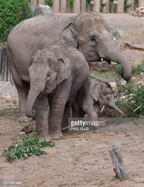 Elephants feed in their enclosure at Chester Zoo in Chester north west England on June 4 2020 Following the lockdown due to the coronavirus pandemic...
