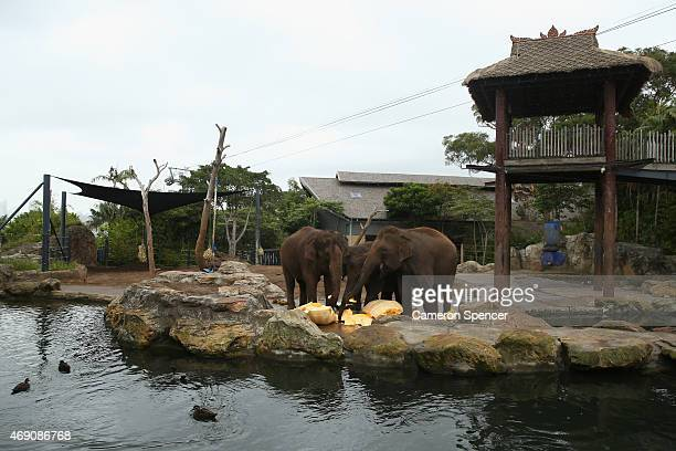 Elephants feed on a giant pumpkin at Taronga Zoo on April 10 2015 in Sydney Australia Taronga Zoo and the Sydney Royal Easter Show partnered together...