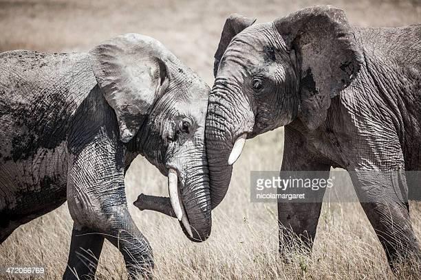 Elephants fighting, Africa