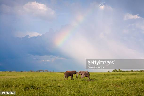 elephants fighting on grassy field - säugetier stock-fotos und bilder