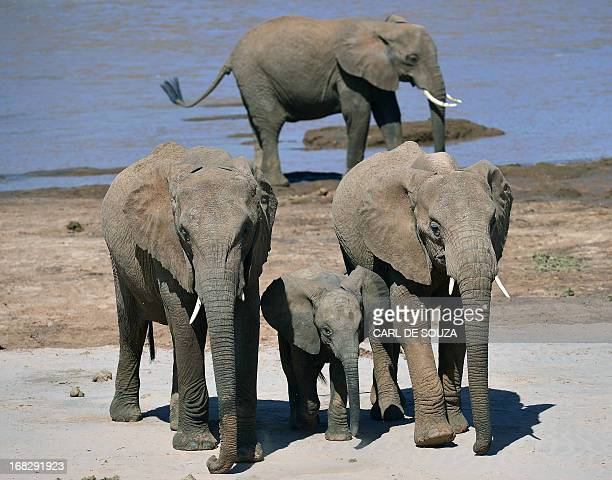 Elephants flankk an elephant calf close to the Ewaso Nyiro river in Samburu game reserve on May 8 2013 UNEP goodwill ambassador and Chinese actress...