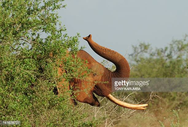 Elephants forage at the Tsavo-east National park on March 19, 2012 during the second phase of a collaring excercise funded by International Fund for...