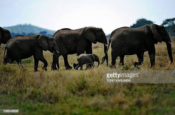 AUSSEILL Elephants forage in the Serengeti national reserve on October 25 2010 A project to build a road gashing through Tanzania's Serengeti park...