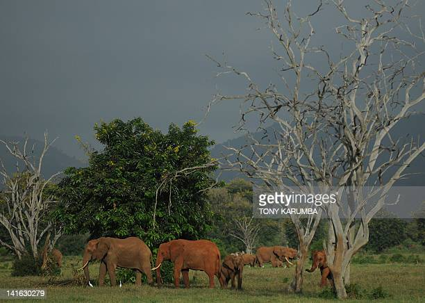 Elephants forage in the Tsavo-east National park on March 20, 2012 during the second phase of a collaring excercise funded by International Fund for...