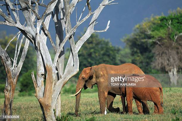 Elephants forage on March 20, 2012 in the Tsavo-east National park during the second phase of a collaring excercise funded by International Fund for...