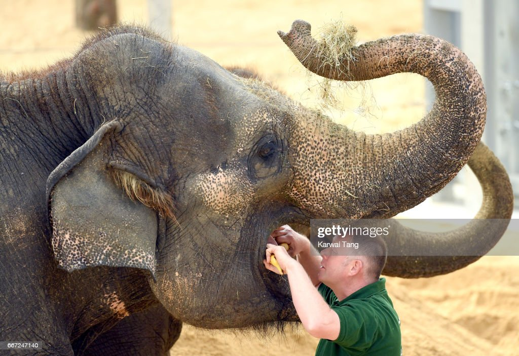 Elephants get a check over at the new Centre for Elephant Care at ZSL Whipsnade Zoo on April 11, 2017 in Dunstable, United Kingdom.