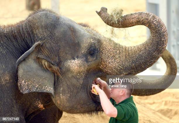 Elephants get a check over at the new Centre for Elephant Care at ZSL Whipsnade Zoo on April 11 2017 in Dunstable United Kingdom