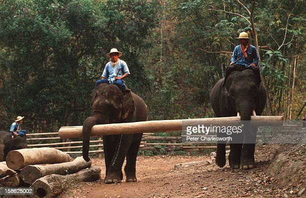 Elephants give a demonstration to tourists of their logging skills as they move huge timber tree trunks into a pile using their tusks and trunks at...