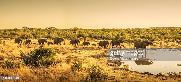 Elephants going to drink  at a pond