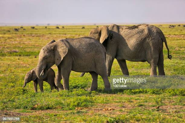 elephants grazing at amboseli - hdr - safari animals stock pictures, royalty-free photos & images