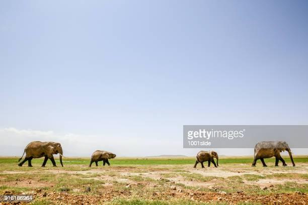 Elefanten Grasen auf Amboseli
