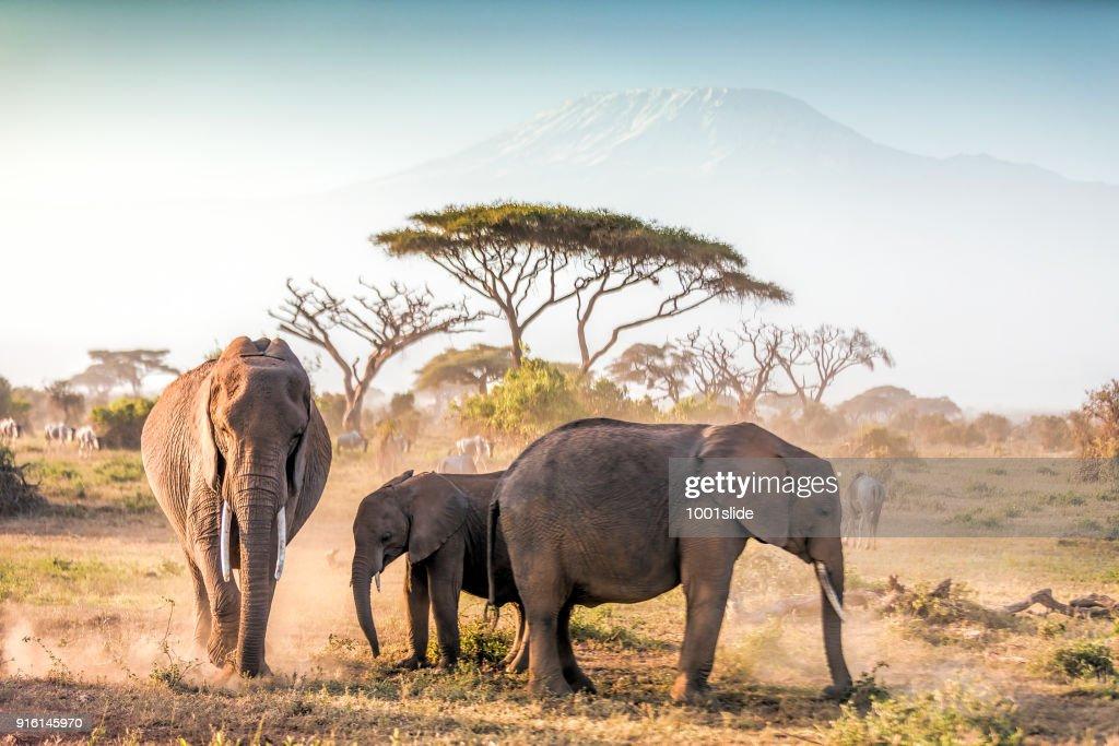 Elephants grazing at Amboseli with Kilimanjaro : Stock Photo