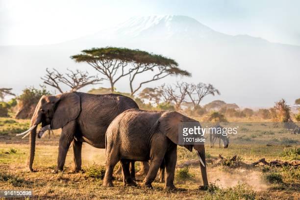 elephants grazing at amboseli with kilimanjaro - elefante foto e immagini stock