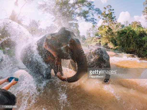 elephants having a bath in the mud - chang mai region - provincia di chiang mai foto e immagini stock