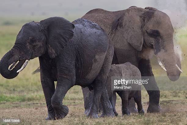 Elephants  having a dust bath